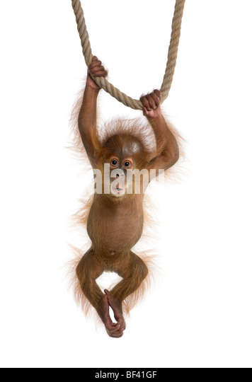 Baby Sumatran Orangutang, 4 months old, hanging on a rope in front of a white background, studio shot - Stock Image