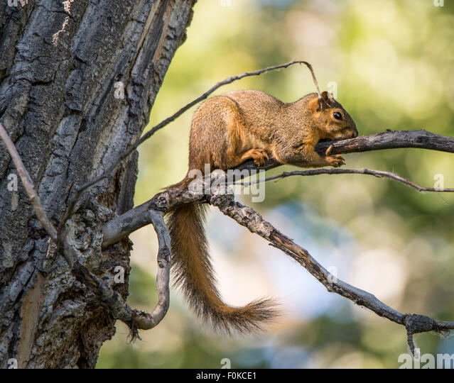 Animal, rodent, Brown Squirrel on tree branch Idaho, USA - Stock Image