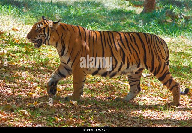 Bengal Tiger (Panthera tigris tigris) - Stock Image