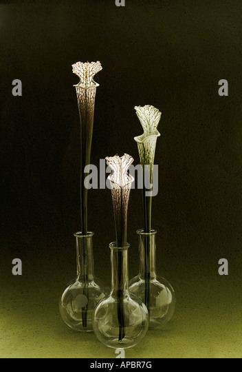 three flowers fly catcher simple still life in round bottom flasks - Stock Image