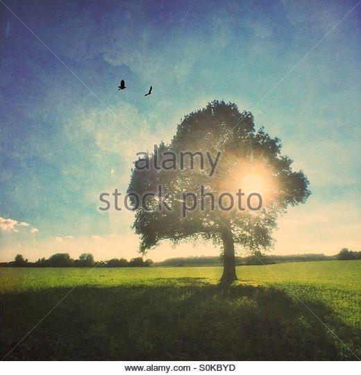 Oak Tree in a Field - Stock Image