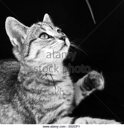 Tabby Kitten Cat Playing Black & White - Stock Image