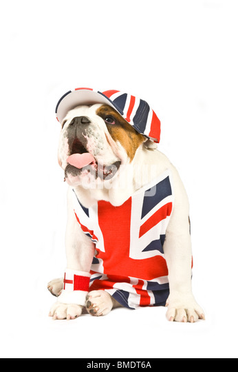 A British Bulldog wearing a Union Jack vest, cap and English flag wrist sweat band against a pure white (255rgb) - Stock Image