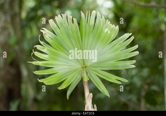 New growth of Palm Leaf in rainforest Panama - Stock Image