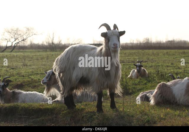 Dutch landrace goat