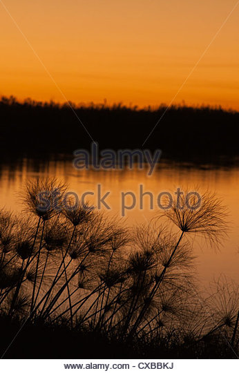 Papyrus reeds along Zambezi River at sunset, eastern end of the Caprivi Strip, Namibia, Africa - Stock Image