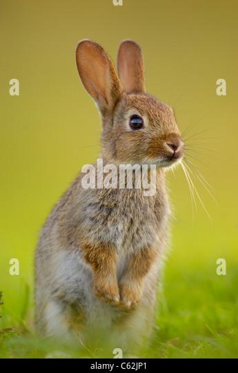 RABBIT Oryctolagus cuniculus  In evening light a young rabbit sits upright and alert near its warren Norfolk, UK - Stock-Bilder