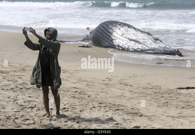 Los Angeles, California, USA. 1st July, 2016. A dead humpback whale which washed on shore is attemped to be brought - Stock Image