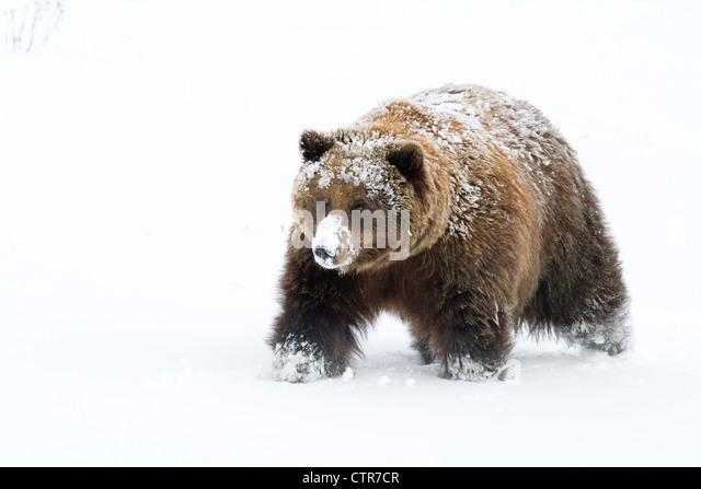 CAPTIVE: Small female grizzly, Alaska Wildlife Conservation Center, Southcentral Alaska, Winter - Stock Image