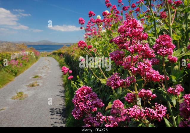 Red Valerian Centranthus - Stock Image