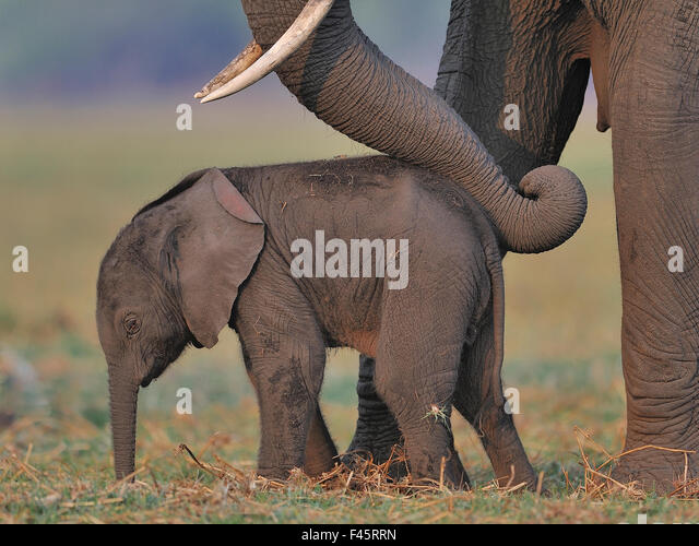 African elephant (Loxodonta africana) cow reassuring young calf with trunk, Chobe River, Botswana, October, Vulnerable - Stock Image