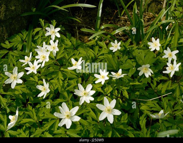 Wood anemone in Cambridgeshire wood - Stock Image