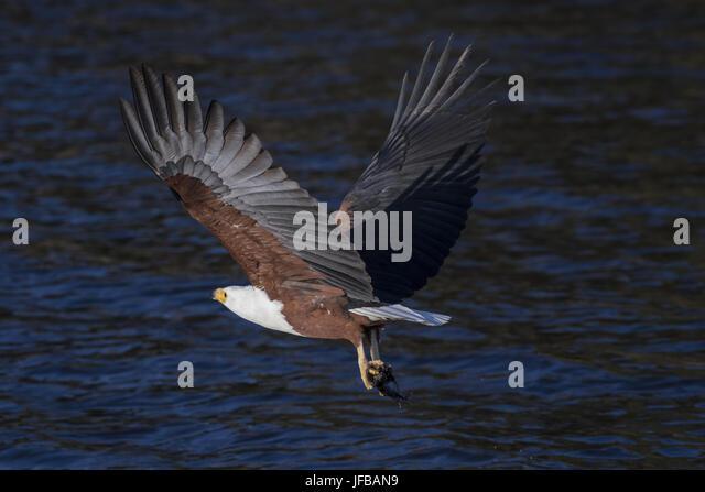 African Fish Eagle (Haliaeetus vocifer) - Stock Image