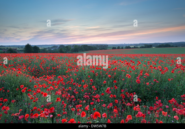 Wild poppy field at sunset, Dorset, England. Summer (July) 2013. - Stock Image
