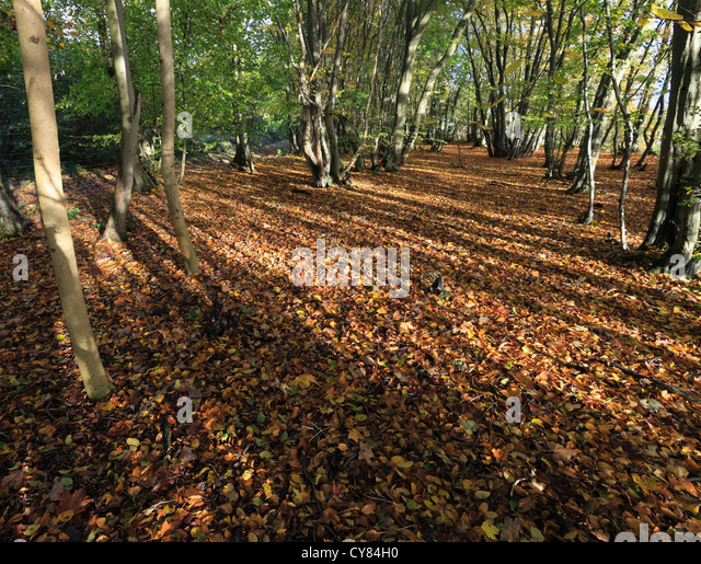 Lower Wood, Ashwellthorpe. One of the first UK sites confirmed to be affected by Ash Dieback disease. - Stock Image