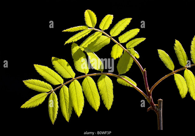 European Rowan leaves, Mountain Ash, (Sorbus aucuparia), spring foliage, shoots, backlight, photosynthesis - Stock Image
