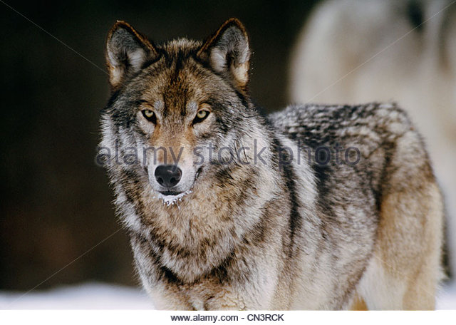 Grey wolf portrait, Canada - Stock Image