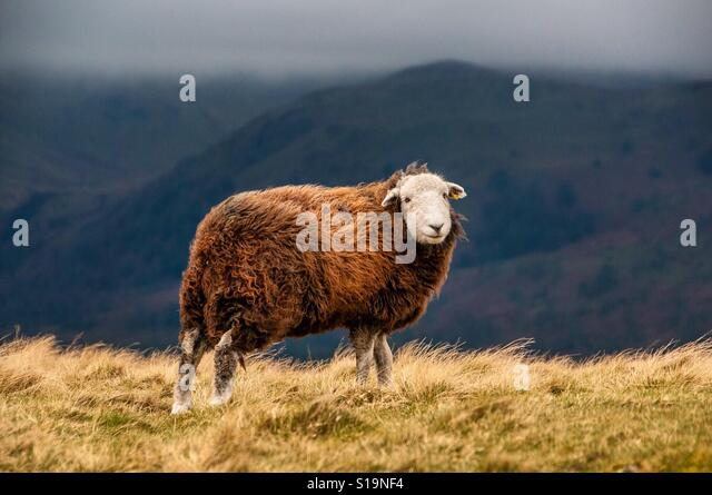 Windswept sheep - Stock Image