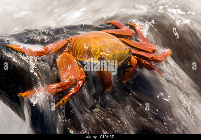 Sally Lightfoot Crab (Red Rock Crab) - Santa Maria (Floreana o Charles) Island - Galapagos Islands, Ecuador - Stock Image