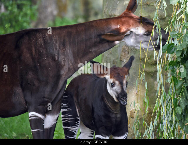 Cologne, Germany. 07th July, 2016. The female okapi newborn, Jamili, and her mother Hakima stand inside their animal - Stock Image