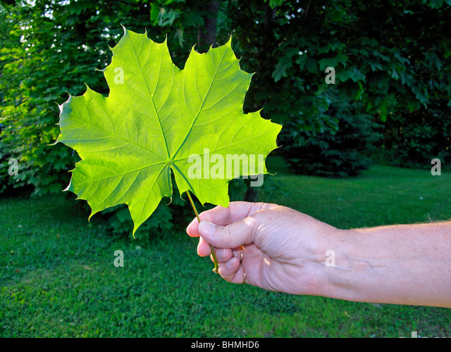 a woman's hand holding a large green sugar maple leaf with trees in the background - Stock Image