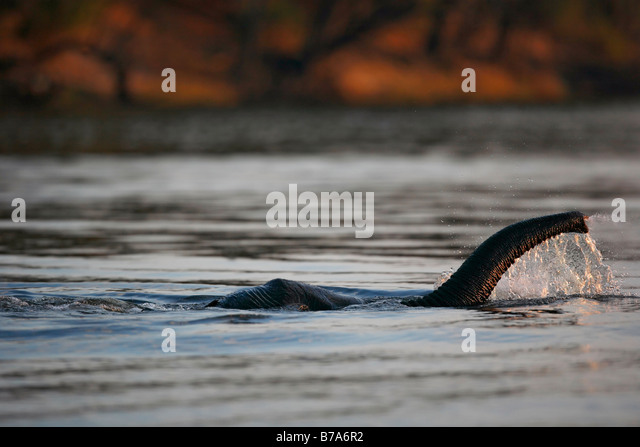 Close-up of an elephant trunk reaching up to breathe as the wholly submerged elephant swims across the Chobe river - Stock Image