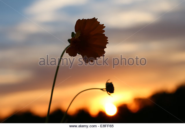 Close-up of flower at sunset - Stock Image