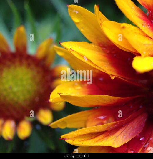 Flowers in the rain. - Stock Image