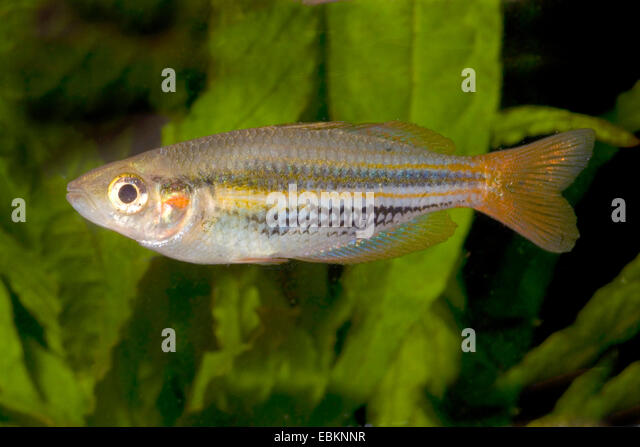 Papua Rainbowfish (Melanotaenia papuae), full length portrait - Stock Image