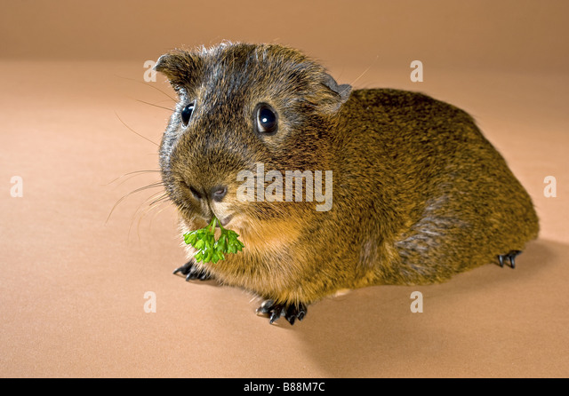 smooth-haired guinea pig - munching - Stock Image