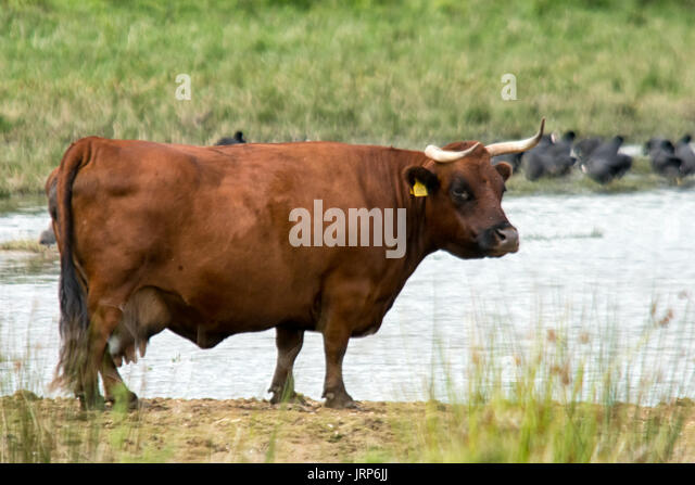 Rutland Water, UK. 6th August, 2017. Uk Weather: Grey dull day for wildlife and highland cattle as they share the - Stock Image