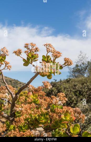 Jade plant stock photos jade plant stock images alamy for Wrigley memorial botanic garden