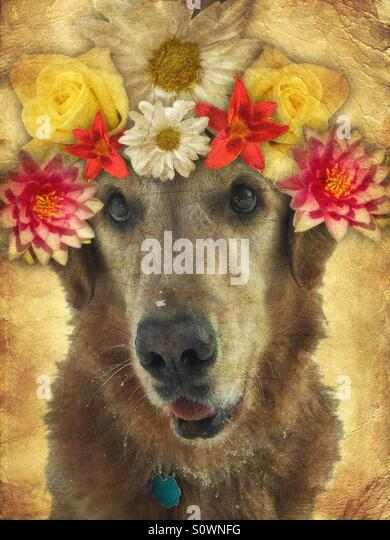 Golden Retriever with Flowers on Head - Stock Image