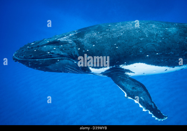 Humpback whale swimming underwater - Stock Image