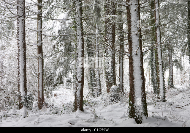Snow covered winter woodland scene, Morchard Bishop, Devon, England. Winter (December) 2010. - Stock Image