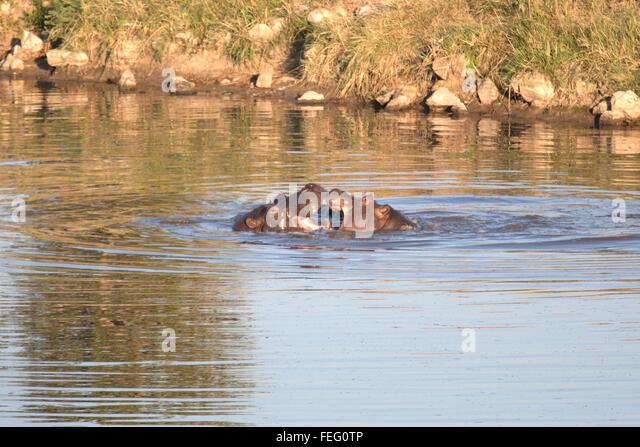 Hippo in a pond - Stock-Bilder