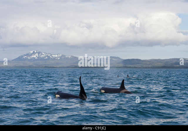 Killer Whale pod with large male swimming in front of Hawkins Island in Prince William Sound, Southcentral Alaska, - Stock Image