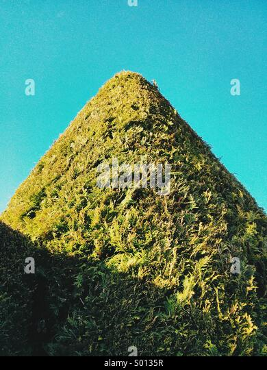 A topiary-shaped conifer resembles a green mountain in Exmouth, Devon, UK. - Stock Image
