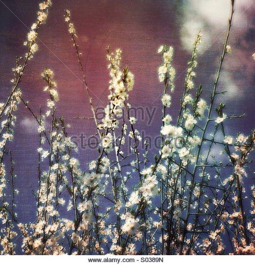 Dreamy Spring Blossom - Stock Image