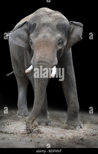 Young Asian elephant eating vegetations over a dark background - Stock Image