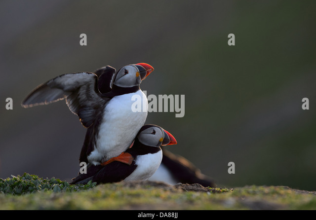 Displaying and mating pair of puffins in warm evening backlight with sunlight shining through the wings - Stock Image