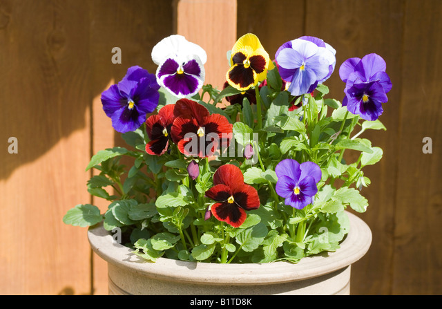viola latin singles Many people refer to these hybrids as viola wittrockiana this yellow pansy does not have any blotches or markings but is just a single clear tone of color seed.