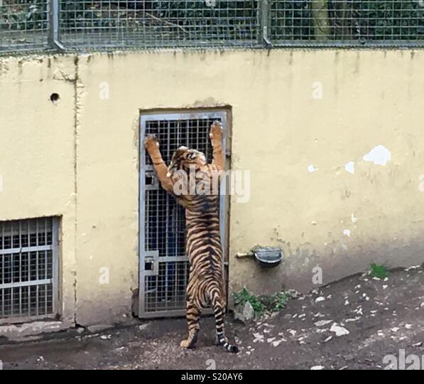 Sumatran tiger in an enclosure, clawing a cage door. - Stock Image