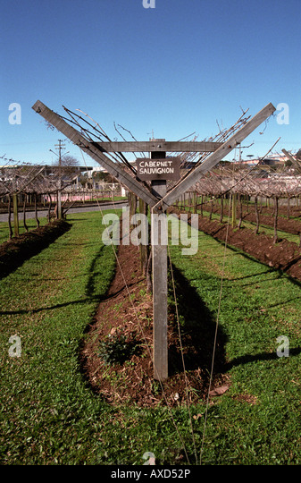 Vines with Lyre style pruning. Cabernet Sauvignon vines at Georges Aubert Winery, Bairro Cairu, Garibaldi, southern - Stock Image