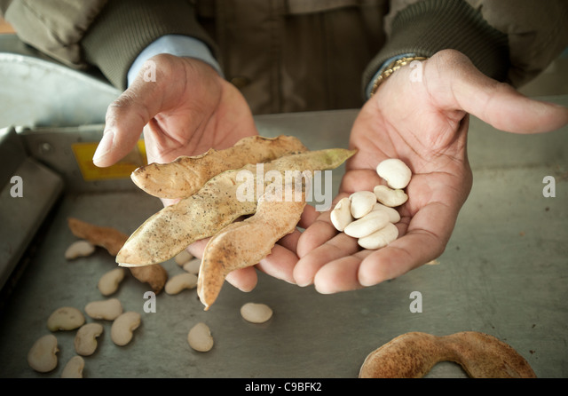 Hands holding a lima bean pod and lima beans - Stock Image