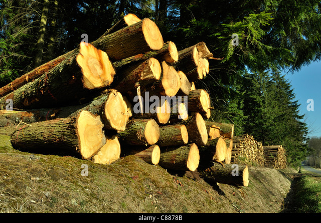 Trunks of firs, forest Andaines, Orne, Normandy (France). - Stock-Bilder