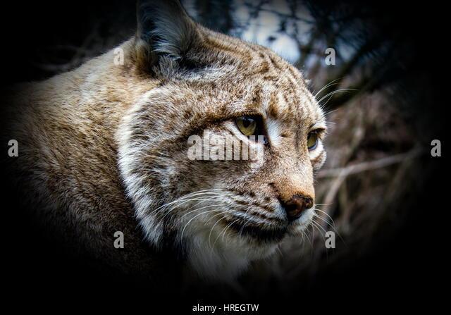 luchs lynx - Stock Image