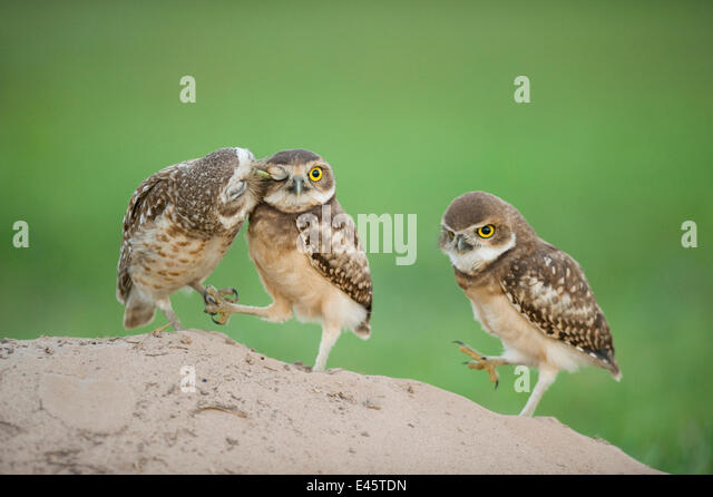 Two newly fledged burrowing owl chicks (Athene cunicularia) one being groomed by its mother (far left) Pantanal, - Stock Image