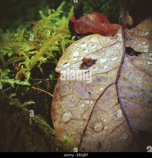 Close-up of autumn leaf with raindrops - Stock Image