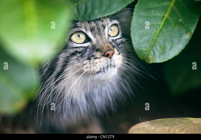 Pallas Cat - Otocolobus manul - Stock Image
